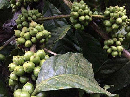 Coffee Beans, Plant, Coffee, Drink, Caffeine, Bean
