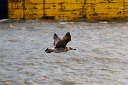 Seagull, Elbe, Wildlife Photography, Water, Nature