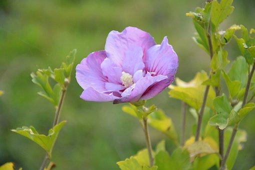Flower, Flowers, Hibiscus, Plant Plants, Flowered
