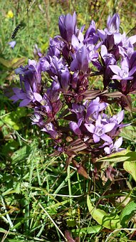 German Gentian, Flower, Wild Plant, Flowers