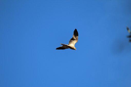 Bird, Prey, Hawk, Harrier, Kite, Fly, Flying, Soar