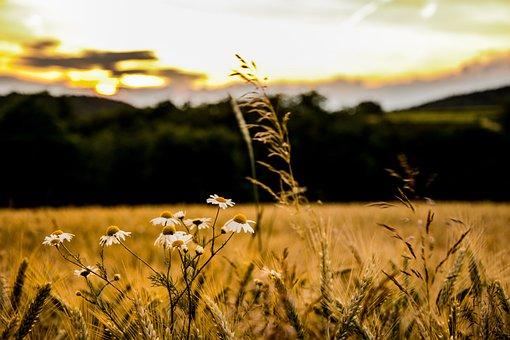 Field, Flower, Sunset, Spring, Yellow, Horizon