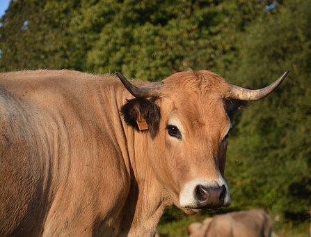 Cow, Veal, Mom Babies, Pre, Prairie, Cattle, Animals
