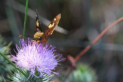 Moth, Butterfly, Thistle, Flower, Purple, Nectar