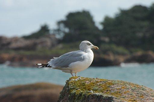 Seagull, Sea, Seevogel, Water, Bird, Animal, Water Bird