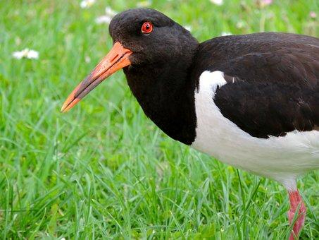 Oystercatcher, Watt Birds, Seevogel, Animal, Bird