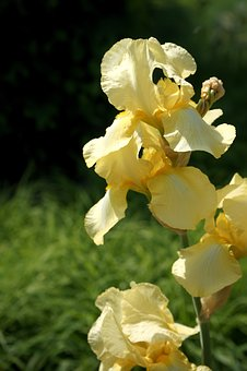 Yellow Iris, Summer Flower, Perennials Flowering