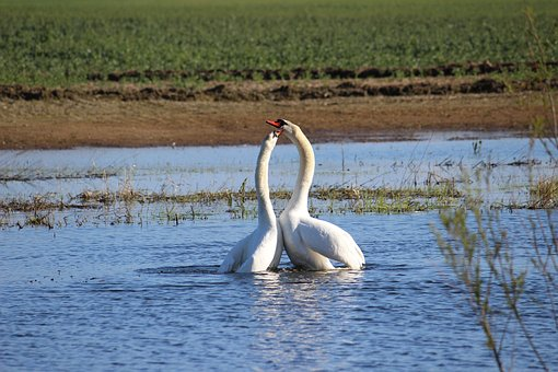 Swan, Couple, Love, Togetherness, Together