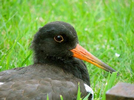 Oystercatcher, Young Bird, Watt Bird, North Sea