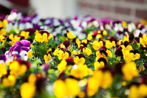 Violet Tricolor, Flowers, Spring Flowers, White Flowers