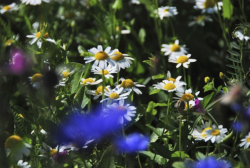 Meadow, Wild Flowers, Plant, Flowers, Nature, Daisies