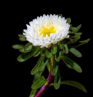 Winter Aster, Aster, Purple, Violet, Plant, Blossom