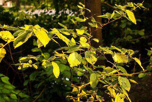 Foliage, Autumn, Evening, Autumn Gold, Yellow Leaves