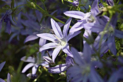 Bellflower, Flower Garden, Petite Bellflower