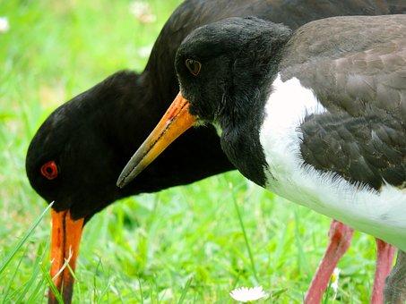 Oystercatcher, Mother Bird, Bird Young, Watt Bird