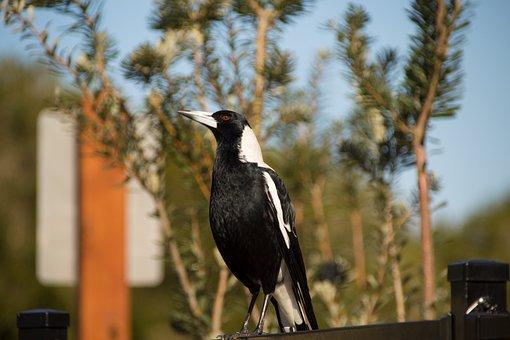Magpie, Bird, Nature, Wildlife, Feather, Black, Outdoor