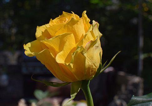 Yellow-orange Rose, Rose, Flower, Blossom, Bloom, Plant