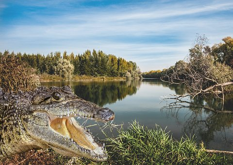 River, Crocodile, Nature, Outdoors, Trees, Water