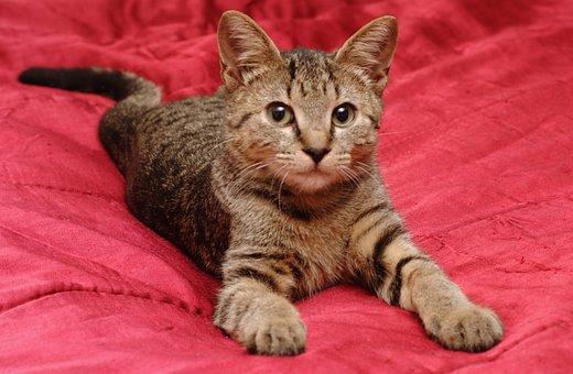 Cat, Stripes, Animal, Feline, Cat Portrait, Kitty