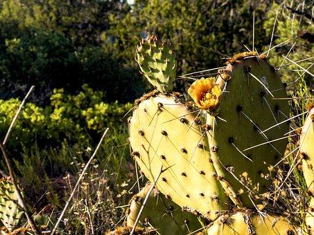 Cactus, Prickly, Pear, Orange, Flower, Desert, Sharp