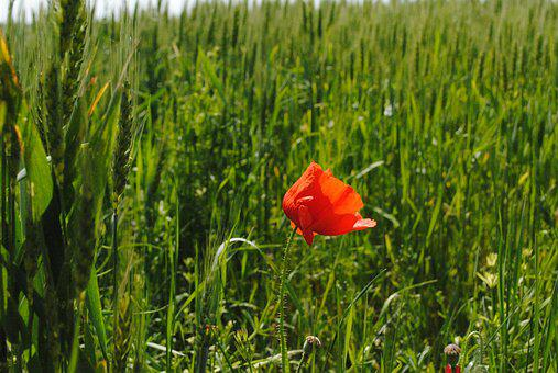 Poppy, Red, Green, Meadow, Flower, Spring, Grass, Plant