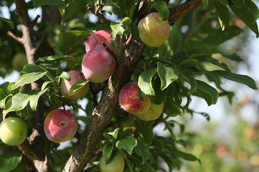 Fruits, Trees, Garden, Green, Agriculture, Fresh