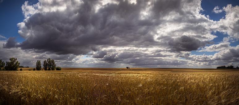 Cornfield, Grain Field Panorama, Insel Poel, Grain
