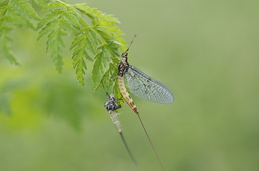 Fly Fishing, Natural, Bait, Fly, Bug, Insect