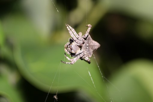 Triangle Ghost Spider, Spider, Ecology, Natural