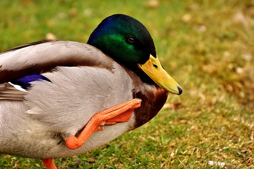 Mallard, Water Bird, Drake, Duck Bird, Nature