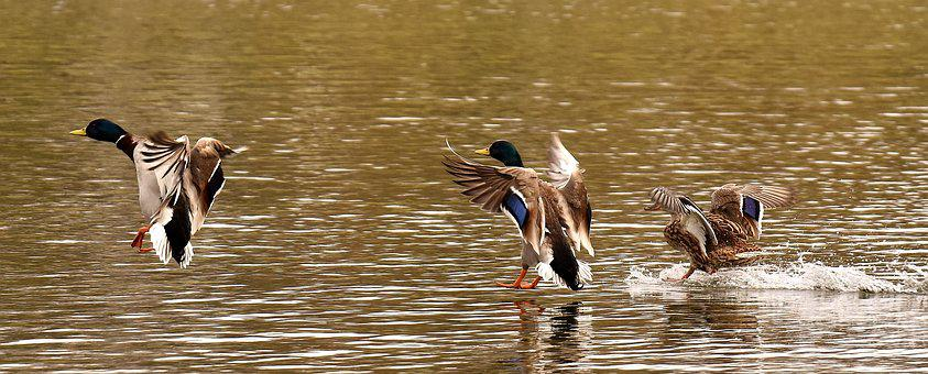 Mallards, Waterfowl, Duck Bird, Nature, Spring Meadow