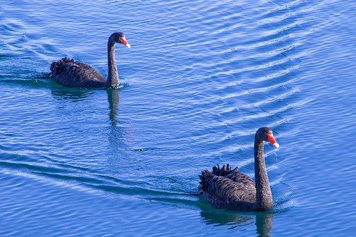 Swans, Swan, Blue, Ocean, Black Swan, Water, Nature