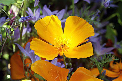 Eschscholzia Californica, Orange, Gold Poppy
