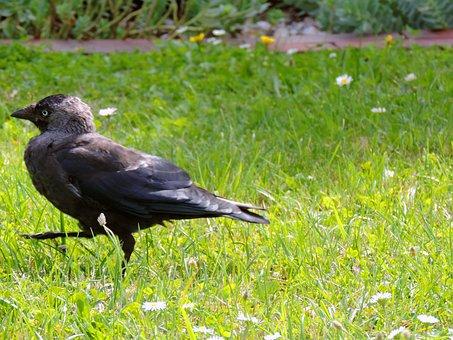 Jackdaw, Raven Bird, Corvus Monedula, Songbird, Bird