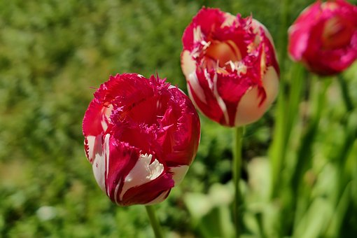 Tulips, Flowers, Early, Red, Spring, Nature, Violet