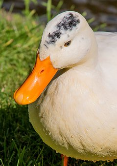 Duck, Park, Water Bird, Swim, Mallard, Duck Bird