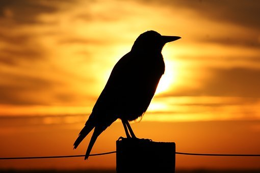 Magpie, Sunset, Sunrise, Silhouette, Perch, Perched