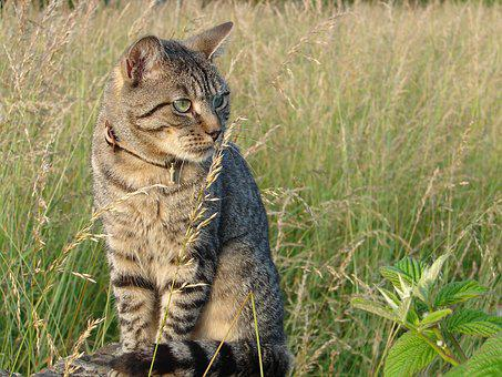 Cat, Look, Feline, Animal, Tabby, Striped, Sitting