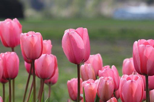 Tulips, Flower, Spring, Nature, Floral, Summer, Pink