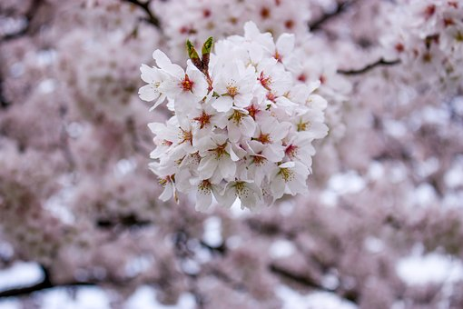 Cherry, Spring, In Full Bloom, Like The Pink Color