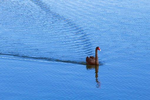 Swan, Lake, Water, Blue, Black Swan, Nature, Bird, Pond