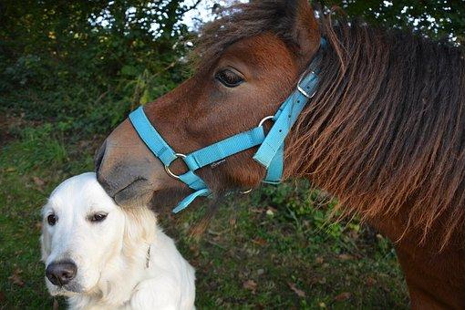 Kiss, Shetland Pony, Dog Golden Retriever, Tenderness