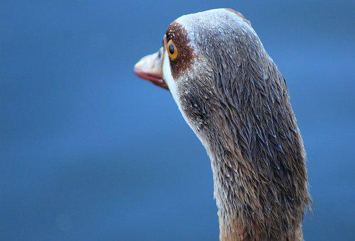 Duck, Bird, Water