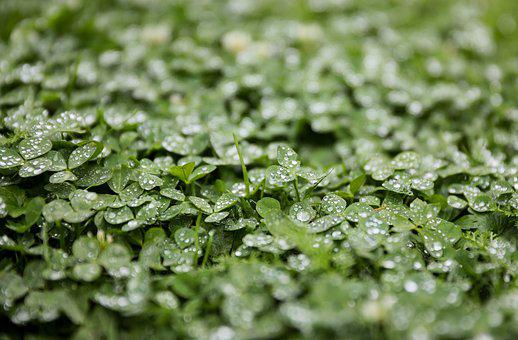 Clover, Alfalfa, Rain, Just Add Water, Raindrop, Water