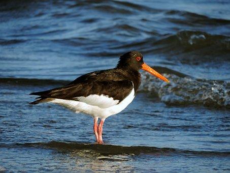 Oystercatcher, Watt Bird, Sea Birds, Water Bird