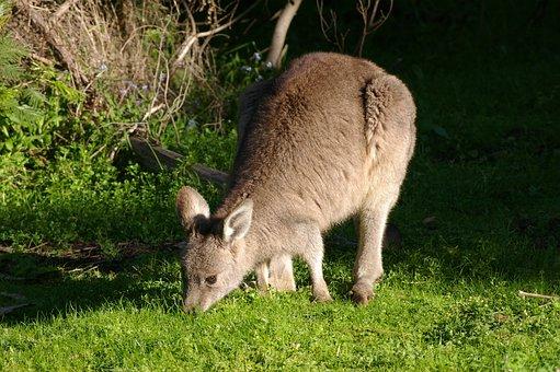 Kangaroo, Wallaby, Young, Mammal, Nature, Wild
