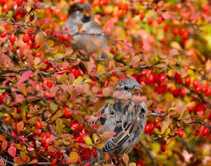 Nature, Animals, Bird, Sparrows, Berries, Food, Bush