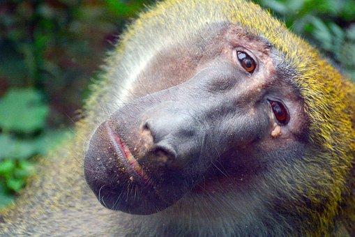 Baboon, Zoo, Animal