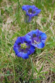 Gentian, Blue, Flower, Blue Gentian, Alpine Flower