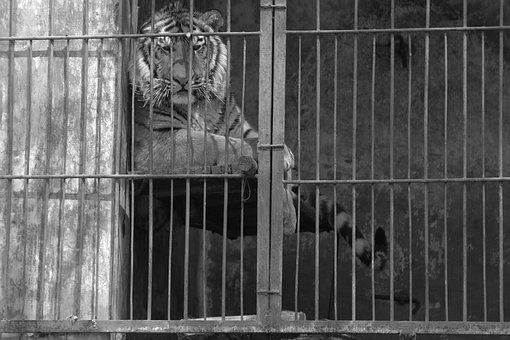 Tiger, Cage, Not Happy, Bad, Blue
